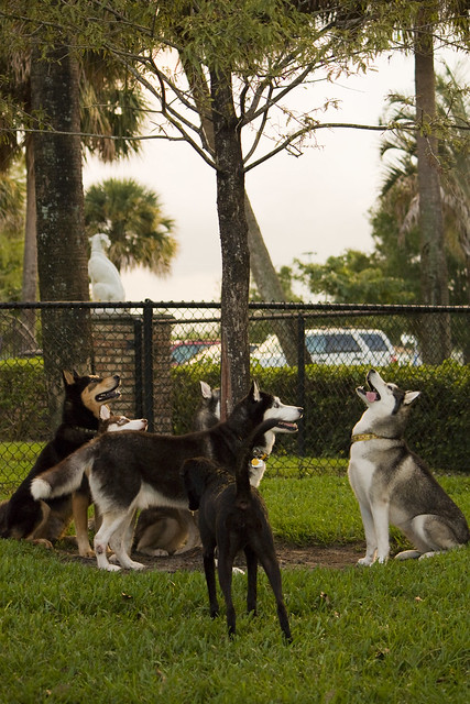 Florida Huskies and the NEW addition 9/5/13 - Page 4 6212716643_24014ee39f_z