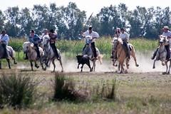 Courses, abrivados, encierros, roussatailles... site fotos 6069037816_9fccd3cd63_m