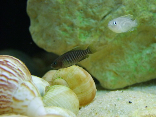 Tanganyika spécifique Neolamprologus multifasciatus 5949474763_1fef30e741