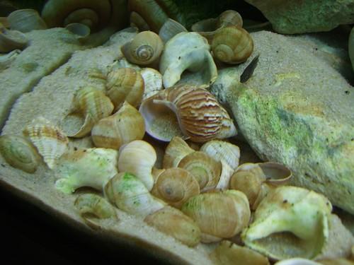 Tanganyika spécifique Neolamprologus multifasciatus 5958687730_313f46414b