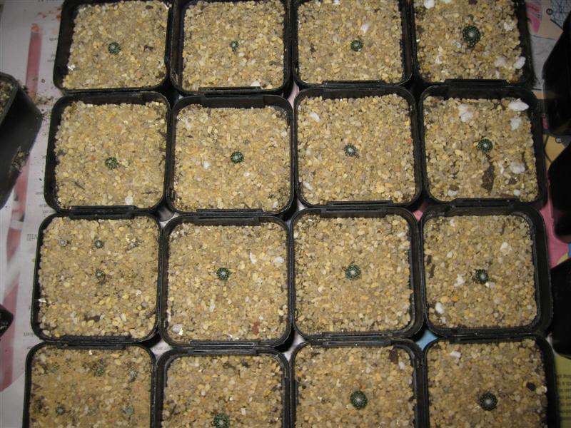 Blossfeldia liliputana in Flower - Page 2 5992892500_e158fc0ca7_b