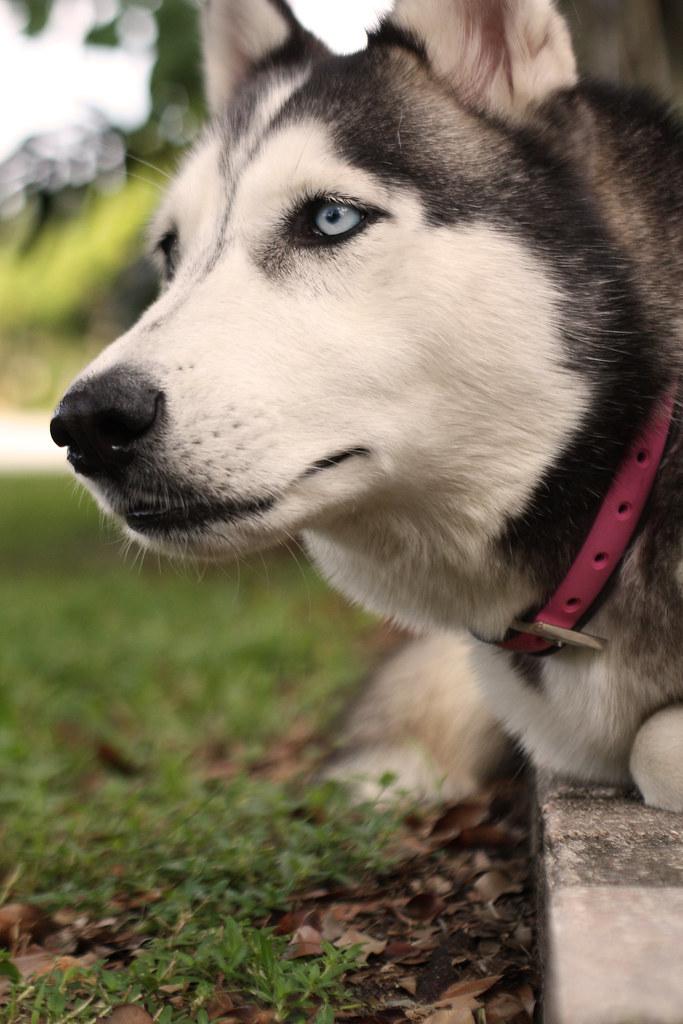 Florida Huskies and the NEW addition 9/5/13 - Page 3 5965444610_bf4934976e_b