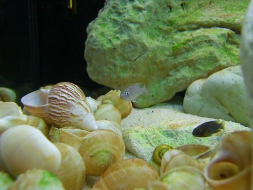Tanganyika spécifique Neolamprologus multifasciatus 5949474777_65aeb2b939