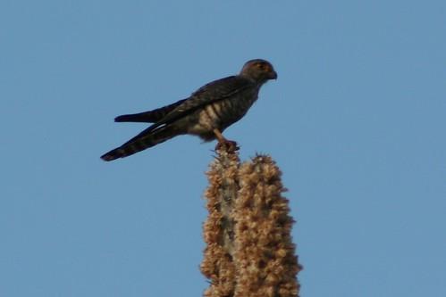 Falconiformes. sub Falconidae - sub fam Falconinae - gênero Falco - Página 3 5958577503_f8ba5a2252