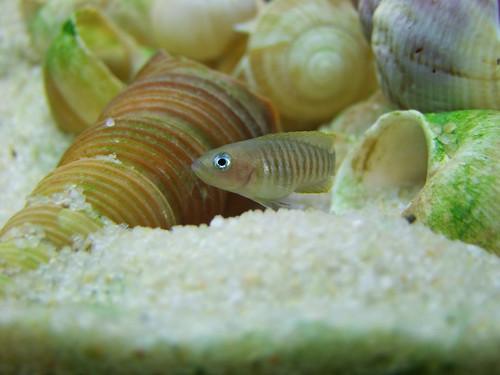 Tanganyika spécifique Neolamprologus multifasciatus 5950020168_29c11c6e87