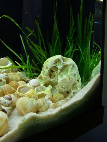 Tanganyika spécifique Neolamprologus multifasciatus 5958128299_a1b9db1e56