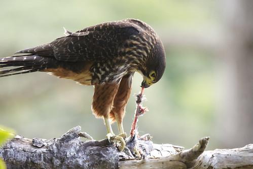 Falconiformes. sub Falconidae - sub fam Falconinae - gênero Falco - Página 2 6177565404_13c6efbe36