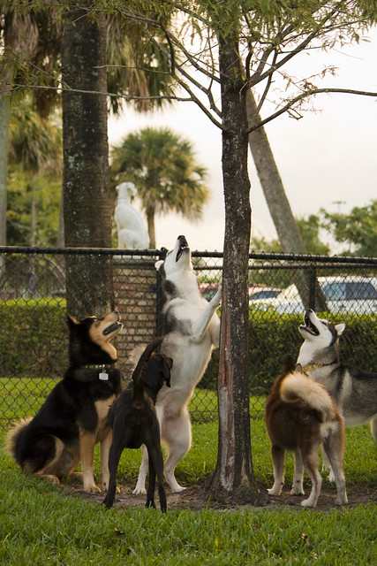 Florida Huskies and the NEW addition 9/5/13 - Page 4 6212715337_c888f2b2e1_z