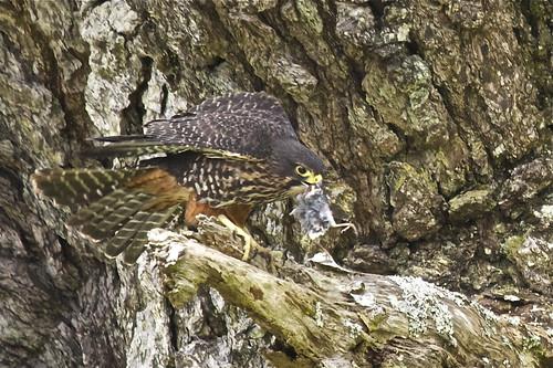 Falconiformes. sub Falconidae - sub fam Falconinae - gênero Falco - Página 2 6176938561_d8a69e426e