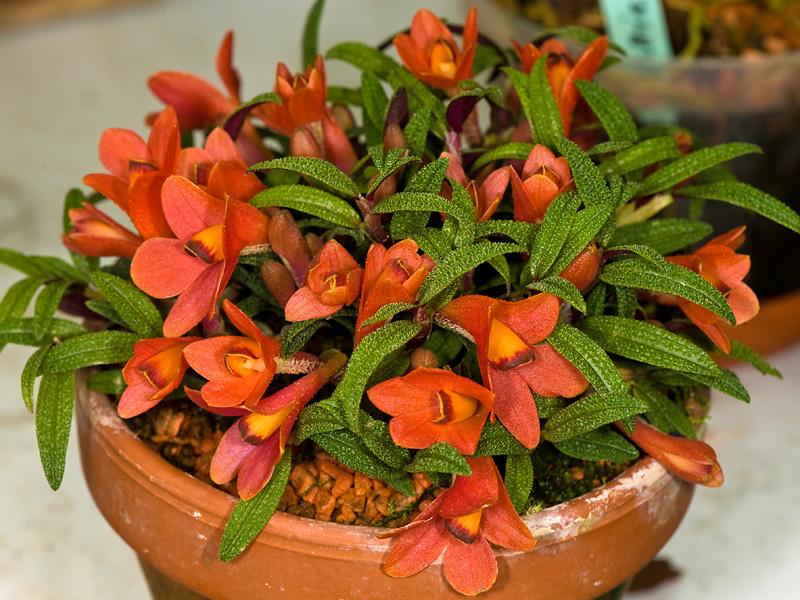Dendrobium  cuthbertsonii 5908431807_9f4f867a25_o