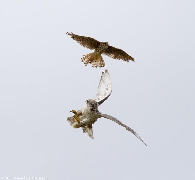 Falconiformes. sub Falconidae - sub fam Falconinae - gênero Falco - Página 3 5964306813_5c7f0e9bc6_z