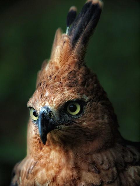 Falconiformes. Família  Acciptridae - Subfamília Buteonidade- Gaviões de penacho. genêro SPIZAETUS 6334457336_7c1a4495d3_z