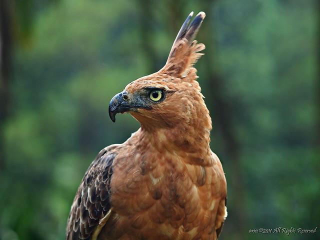Falconiformes. Família  Acciptridae - Subfamília Buteonidade- Gaviões de penacho. genêro SPIZAETUS 6131815624_a6a5d8b808_z