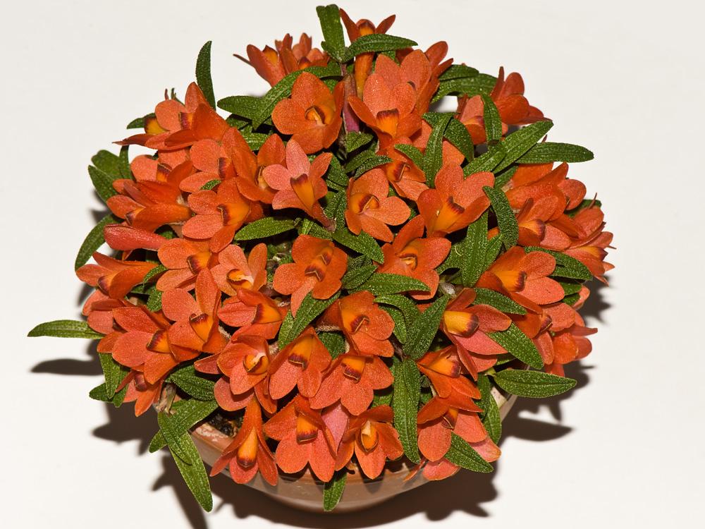 Dendrobium  cuthbertsonii 6032874235_28aed95153_o