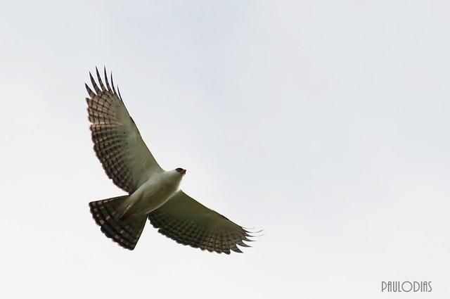 Falconiformes. Família  Acciptridae - Subfamília Buteonidade- Gaviões de penacho. genêro SPIZAETUS 6262319597_b2dddb26c9_z