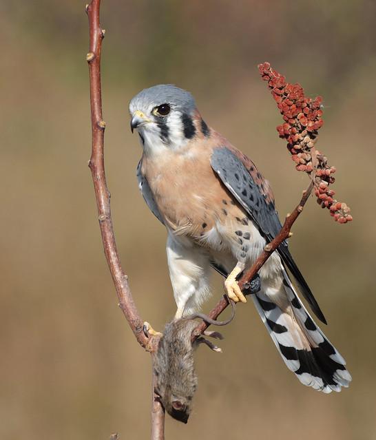Falconiformes. sub Falconidae - sub fam Falconinae - gênero Falco - Página 3 6270685111_5811cec9cb_z
