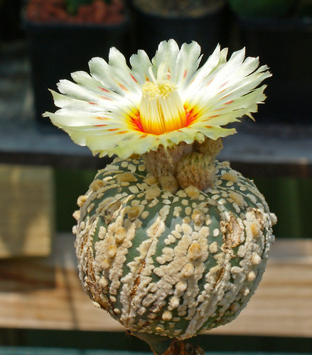 For Sale: Rare Astrophytum Hybrid Seed 6346051892_b2df2b160e
