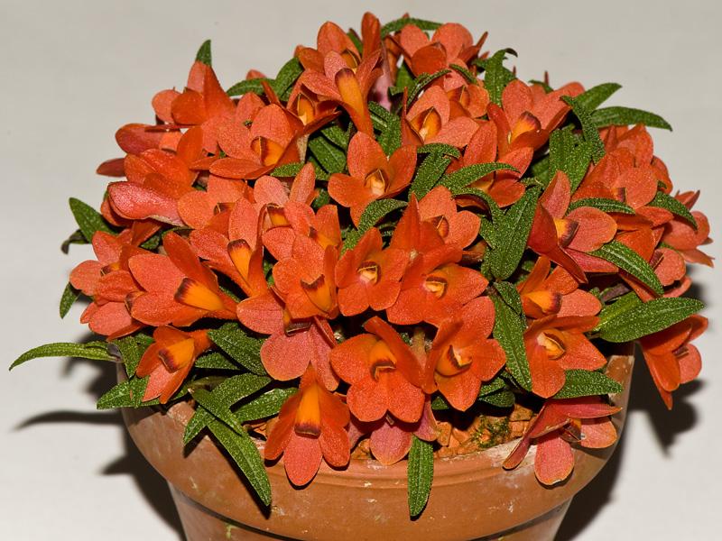 Dendrobium  cuthbertsonii 6032874721_fd12cc160b_o
