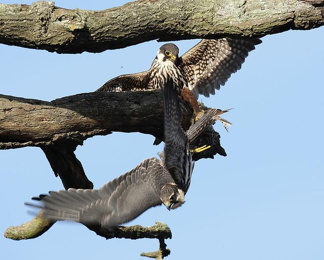 Falconiformes. sub Falconidae - sub fam Falconinae - gênero Falco - Página 3 6149389201_5caf358177_z
