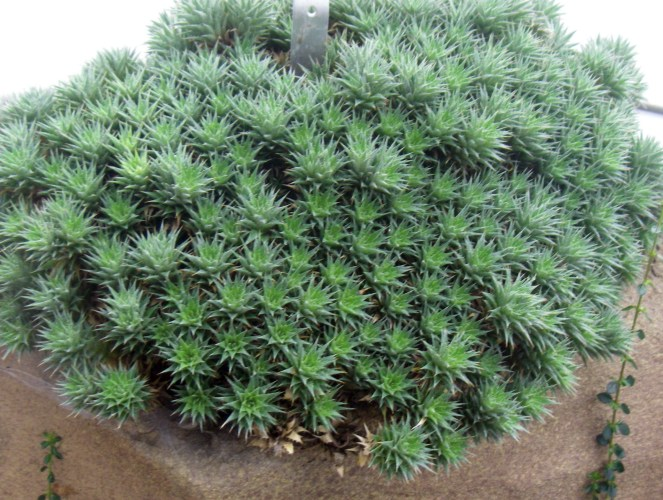 Abromeitiella brevifolia 6131821649_1923040217_o