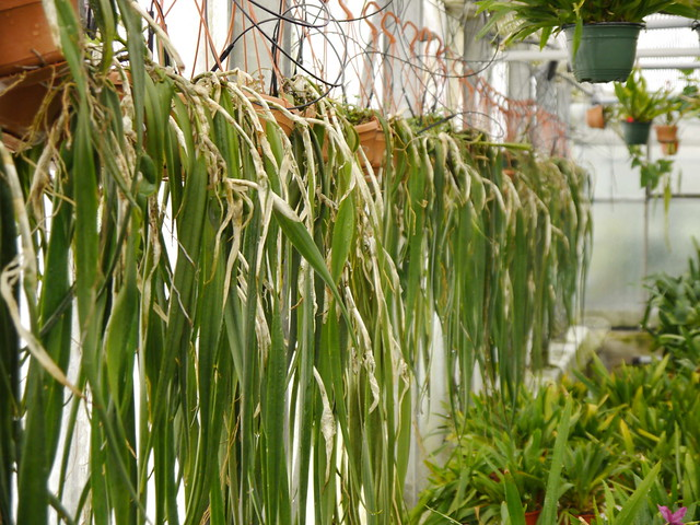 Epidendrum parkinsonianum 6029288436_85b9d165e4_z