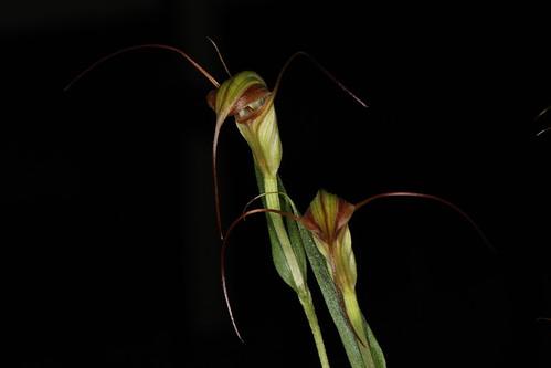 Checklist des orchidées terrestres d'Australie - Page 2 6952271353_f2438e4e64