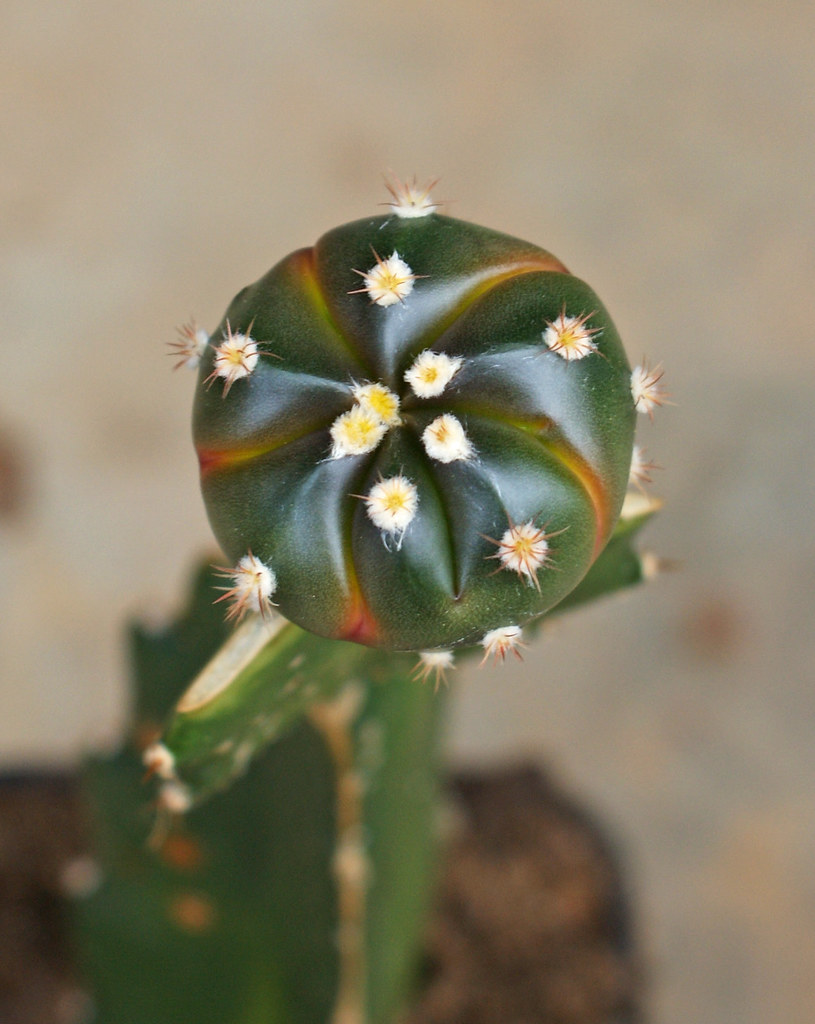 Astrophytum Asterias Cultivars 6832260165_9385fc6504_b