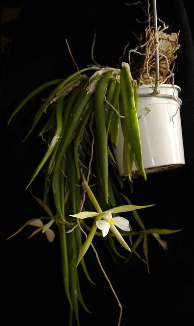 Epidendrum parkinsonianum 6491979101_3a89bb9e57_z
