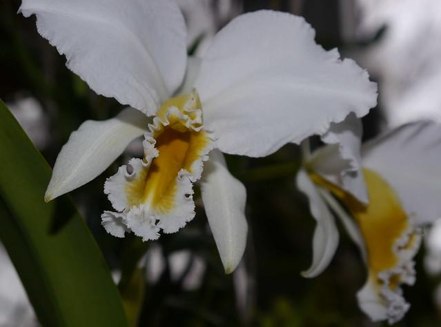 Cattleya percivaliana 6678154799_c58ac6bc06_z