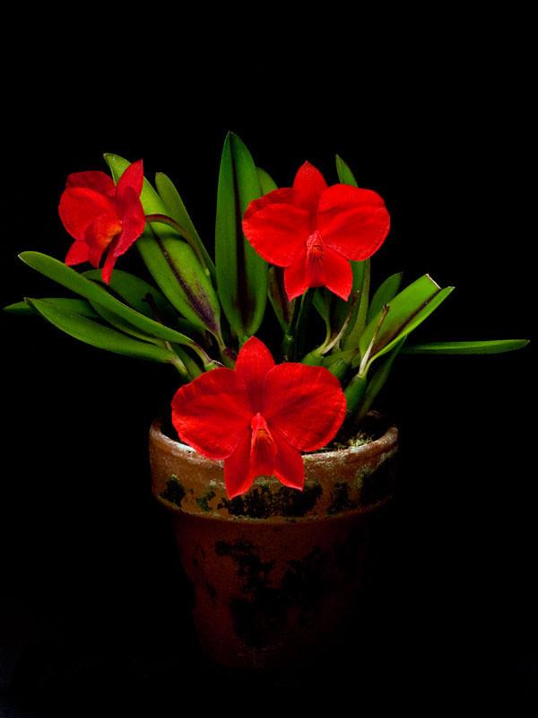 La ploïdie des orchidées, illustrée par Lise (Erythrone) 6690628475_40d6b73c4a_b
