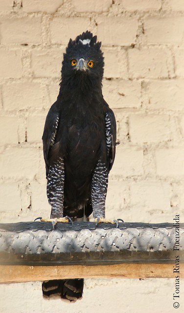 Falconiformes. Família  Acciptridae - Subfamília Buteonidade- Gaviões de penacho. genêro SPIZAETUS 6968040062_016de91af2_z