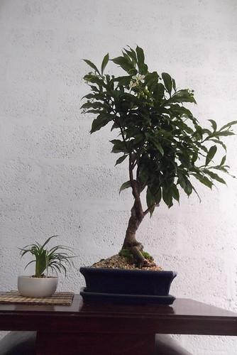 Growing a young Jacaranda 6972504773_46c9179dff