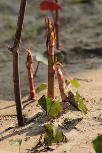Reynoutria japonica (= Fallopia japonica) - renouée du Japon 13196262145_04a4d1f506