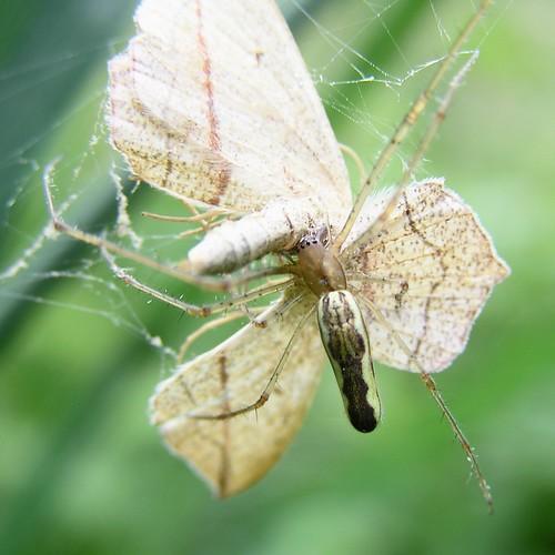 Tetragnatha montana - 04/06/12