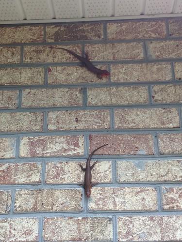 Salamander3