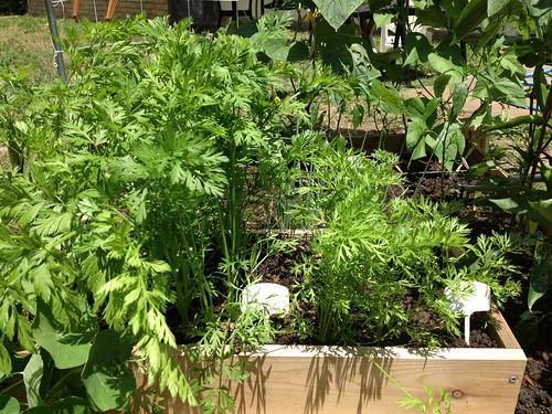 Carrot Week 2012! - Page 9 7256654330_51b00b1006