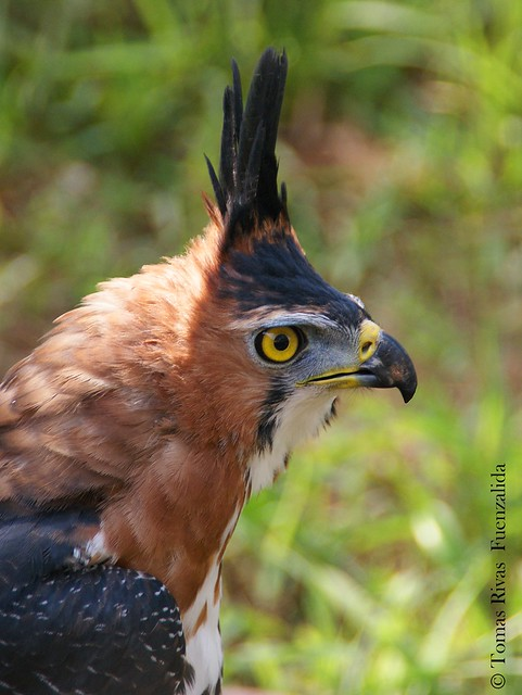Falconiformes. Família  Acciptridae - Subfamília Buteonidade- Gaviões de penacho. genêro SPIZAETUS 6968046082_7f5c05f982_z
