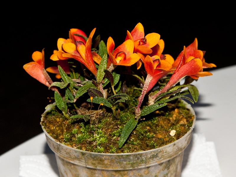 Dendrobium  cuthbertsonii 7832913550_3ece2a724c_o