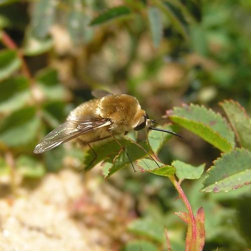 Bombylius minor - Petit Bombyle - 23/06/12