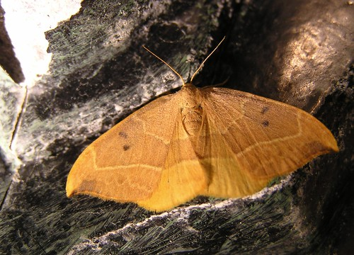 Watsonalla binaria -  L'Hameçon - Oak Hook-tip - 11/08/12