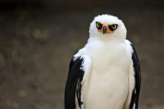 Falconiformes. Família  Acciptridae - Subfamília Buteonidade- Gaviões de penacho. genêro SPIZAETUS 6763789505_bc9385b7ea_z