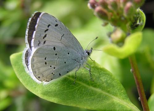 Celastrina argiolus - Azuré des nerpruns - Holly Blue - 13/05/12