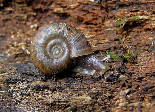 Elona quimperiana - Escargot de Quimper - Quimper snail - 22/06/12