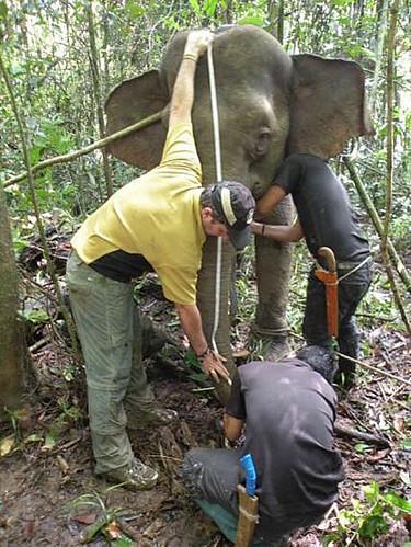 Elefante de Bornéu VS Potol 7636751934_b49a952c9d