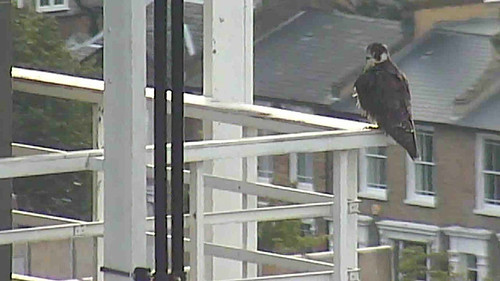 Day 71  - juvenile on North wing corner in evening sunshine