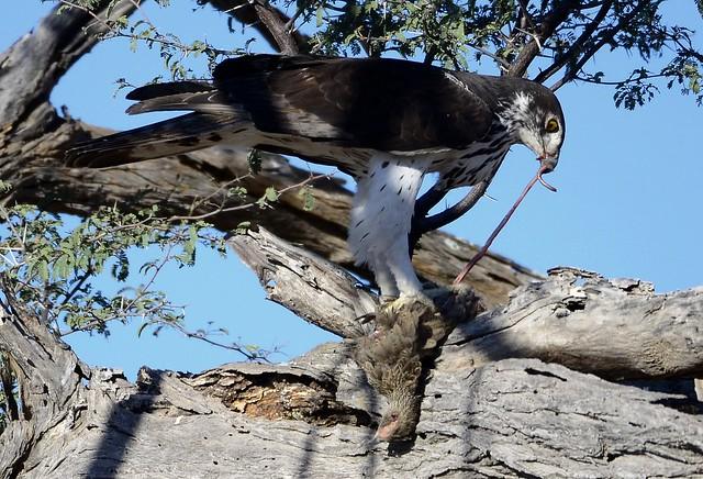 Falconiformes. Família  Acciptridae - Subfamília Buteonidade- Gaviões de penacho. genêro SPIZAETUS 7499538044_1014afaeca_z