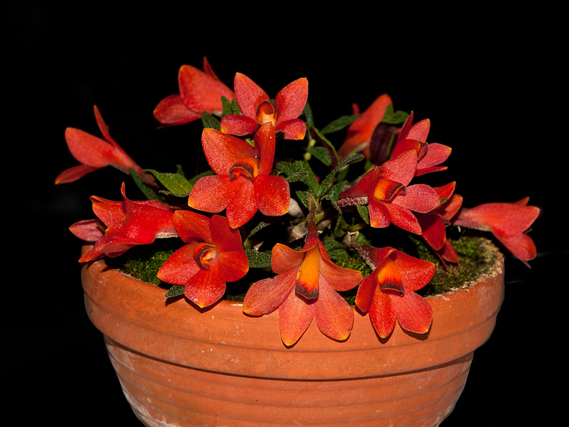 Dendrobium  cuthbertsonii 7832913968_15b492603a_o