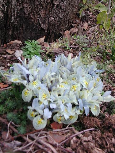 Iris winogradowii x histrioïdes 'Katherine Hodgkin'