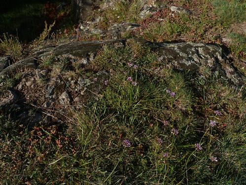 Allium lusitanicum - ail des collines, ail trompeur 10165686195_b44bdc5956