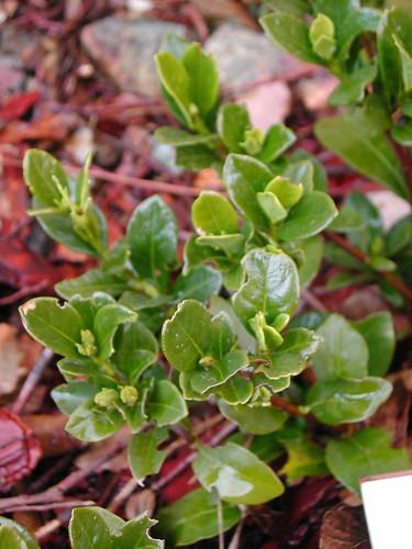 Gardenia 'Kleim's Hardy'